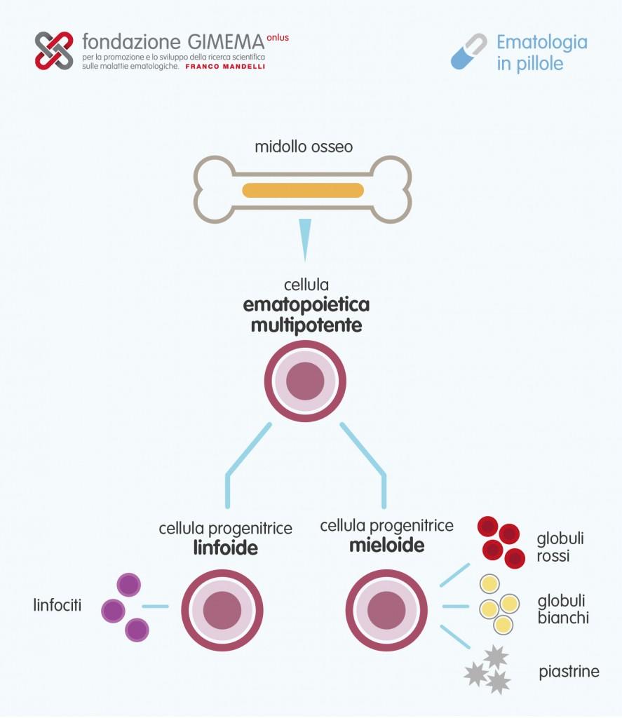 Le cellule staminali del sangue – Ematologia in Pillole – Fondazione GIMEMA