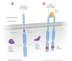 flt3 receptor